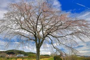 枝垂れ桜 (6)