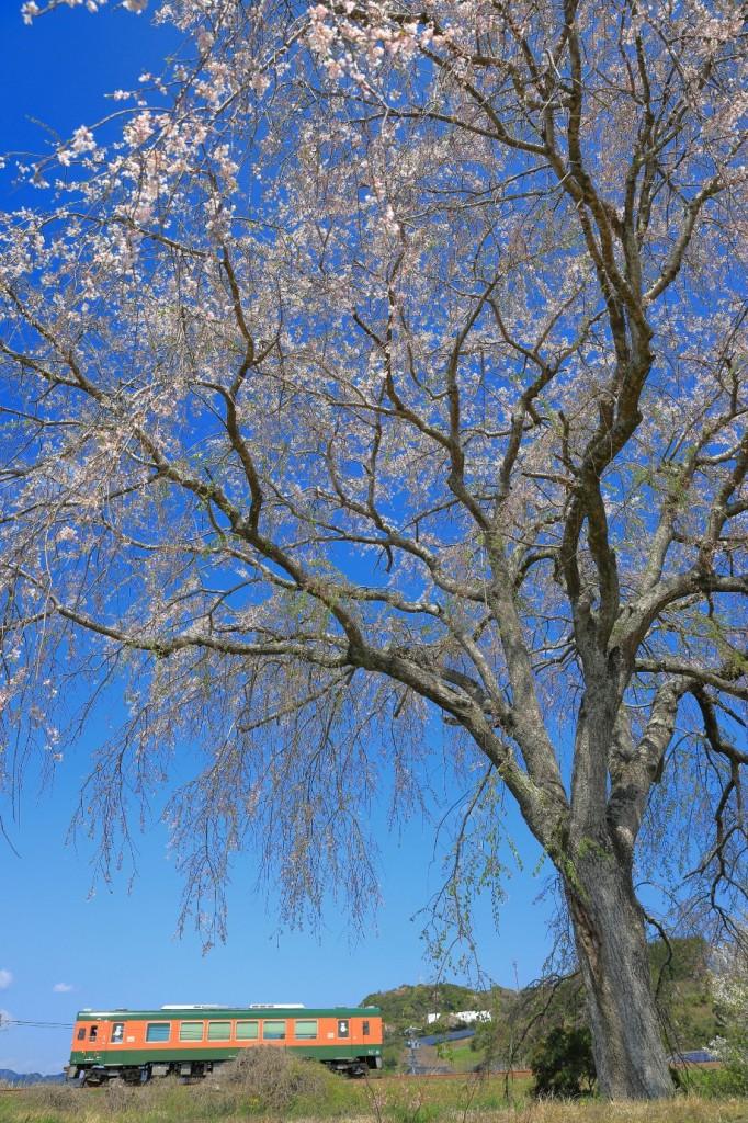 THR原谷の枝垂桜 (2)