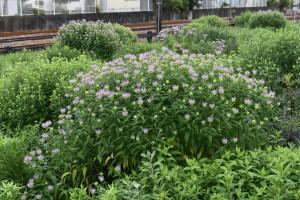 2020.06.16.モラルダの花