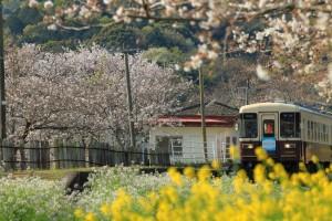 ona尾奈駅の春 (1)