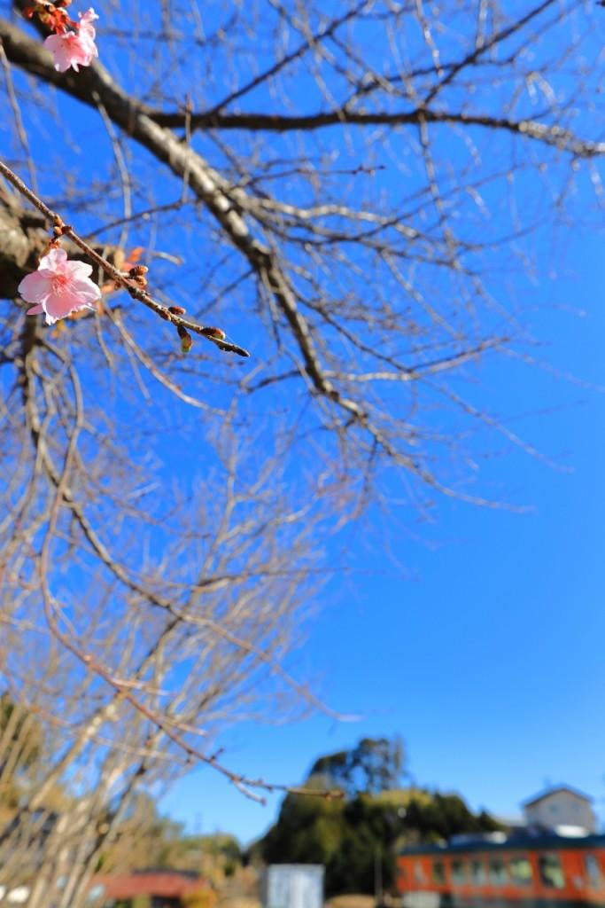 mini_季節外れの桜
