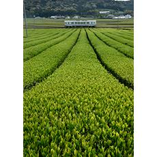 茶畑と天浜線